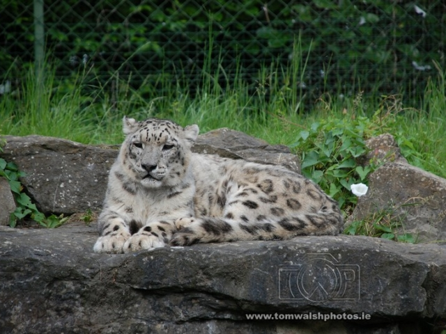 Snow leopard relaxing on the rocks