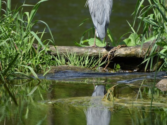 Grey heron reflected in the river