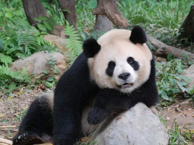 adorable panda in China, playing to the camera