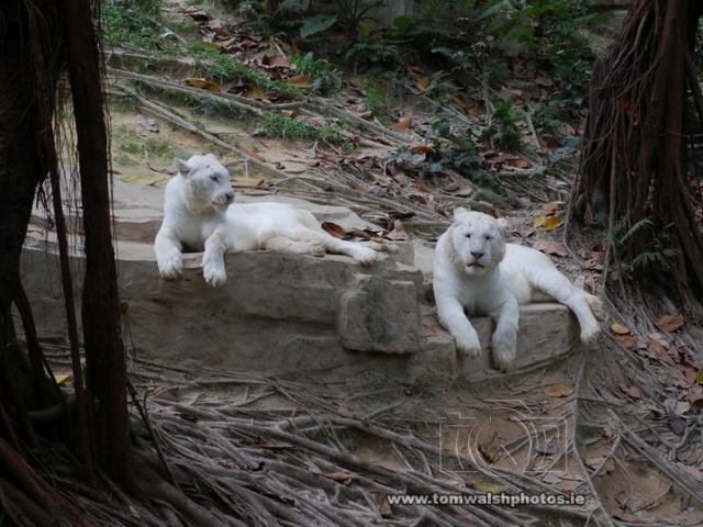 A pair of white tigers