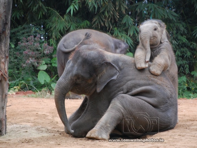 playful baby elephant calf with mother
